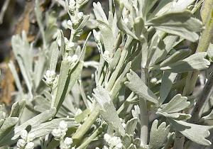 Artemisiatridentata