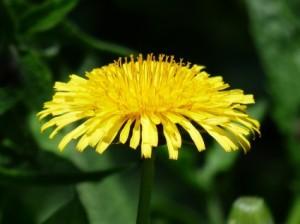 dandelionflowerwildfoodism