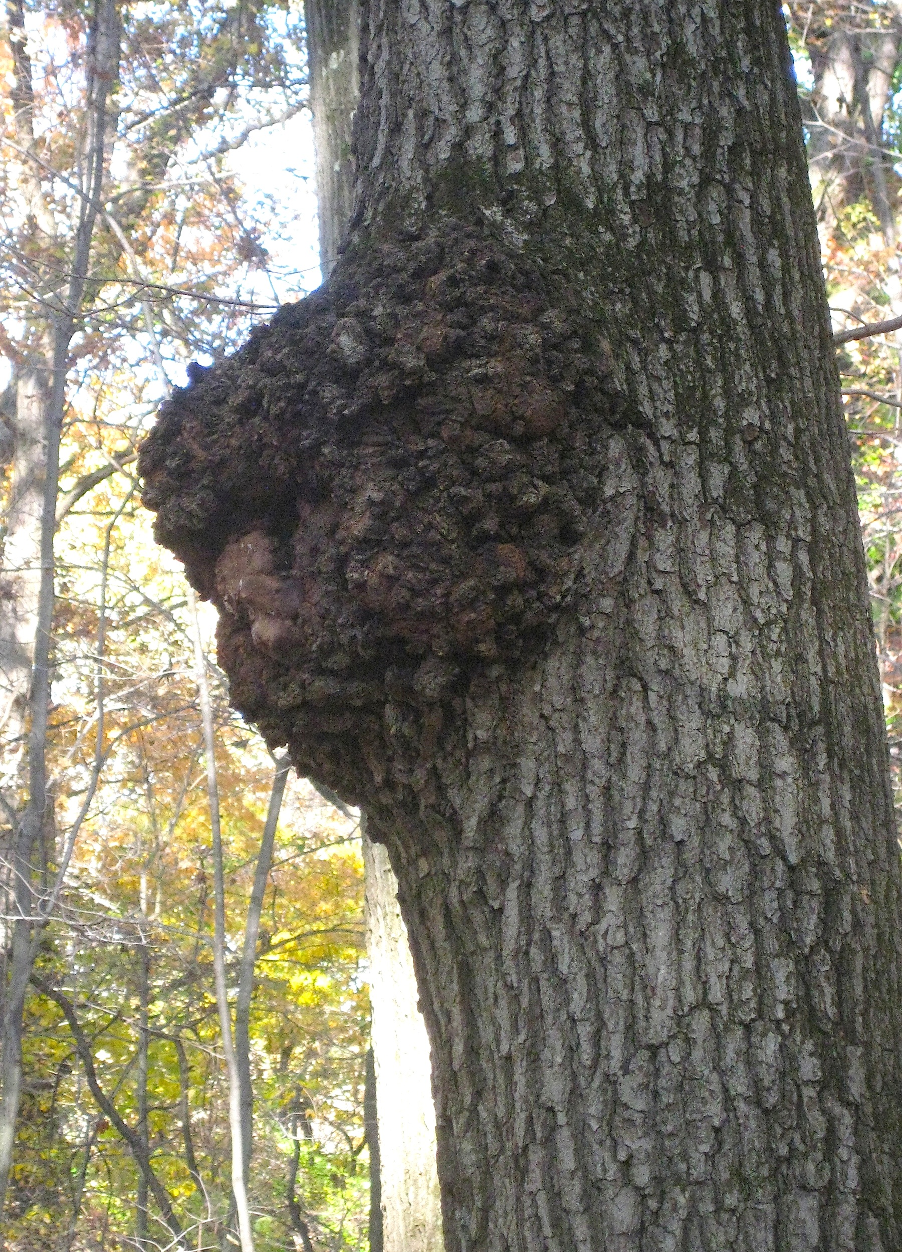 Why Do Mushrooms Grow Under Oak Trees : Is this chaga a key for identifying remarkable fungus wild