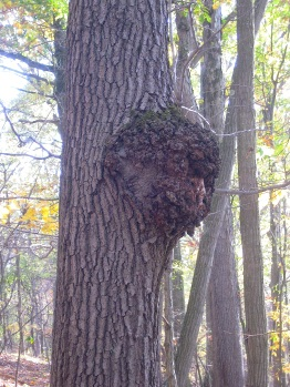 Is This Chaga A Key For Identifying This Remarkable
