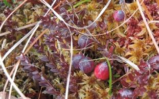 wildcranberrieswildfoodism